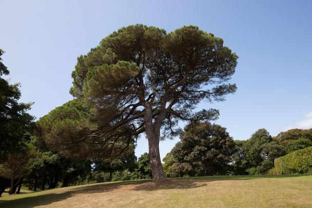 Ontario symbol Eastern White Pine