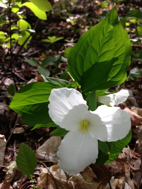 Ontario symbol White Trillium