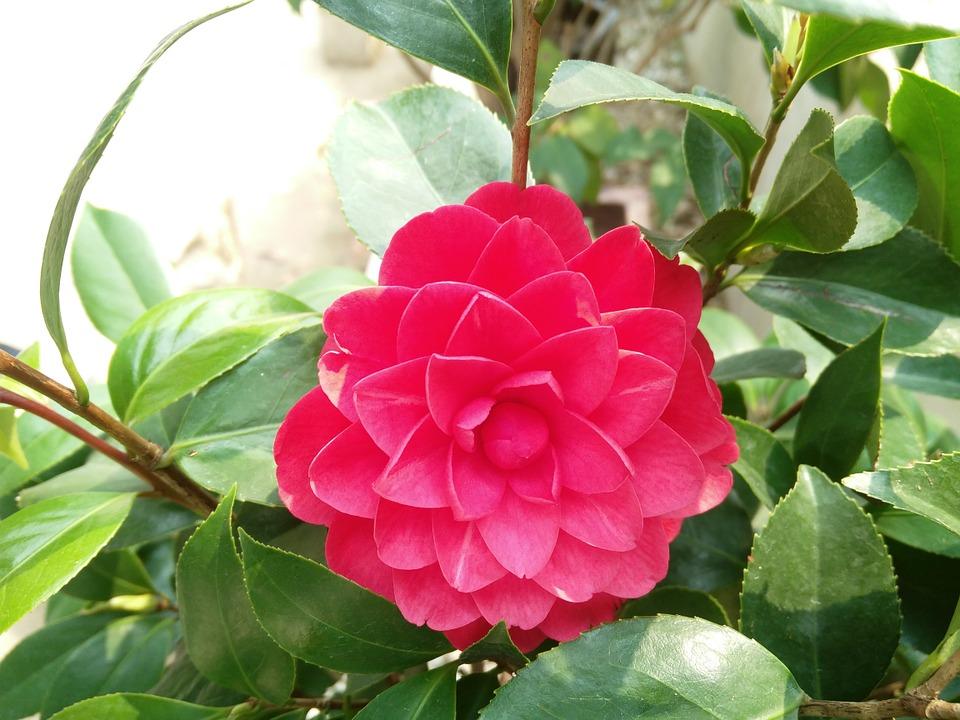 Camellia All Ontario