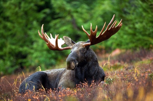 Ontario Changing Moose Hunting Season