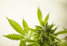 Do NOT Smoke Marijuana Till Your 25