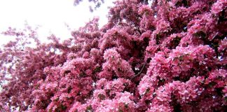 Cherry Blossom in Ontario