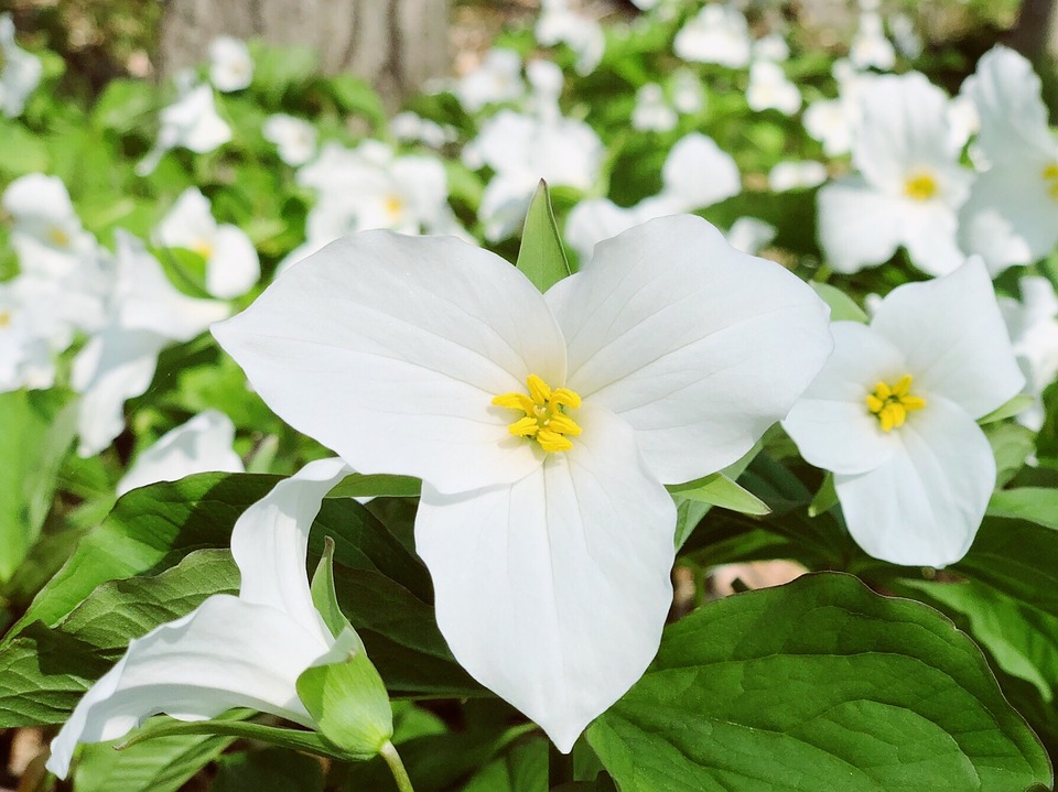 11 Surprising Facts about Trillium