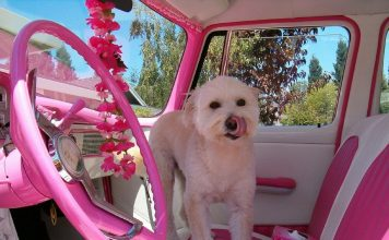 Safety Aspects of Car Seatbelts for Dogs