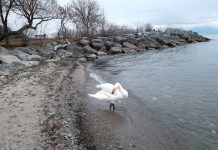 Swans in Lake Ontario in January
