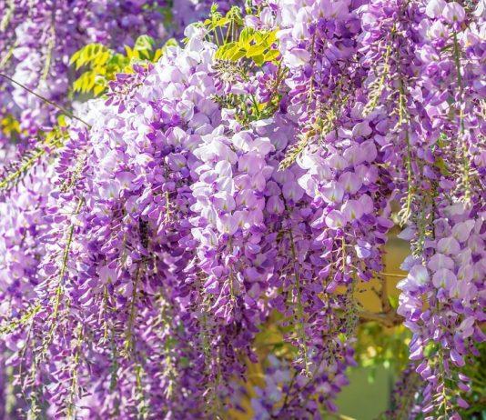 Surreal wisteria flower