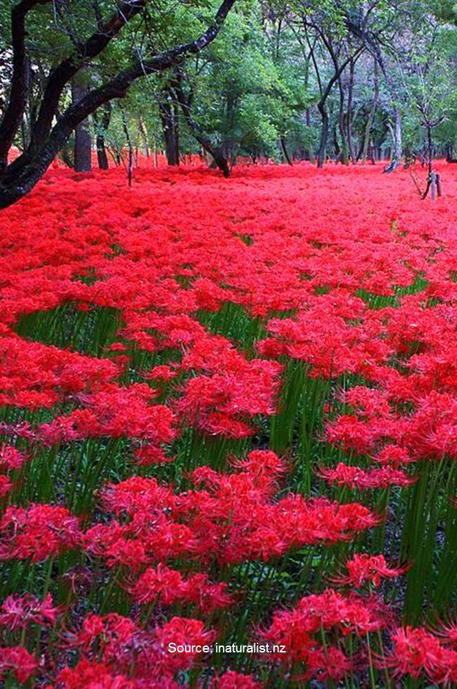 Lycoris radiata, known as the red spider lily, red magic lily, or equinox flower, is a plant in the amaryllis family, Amaryllidaceae.